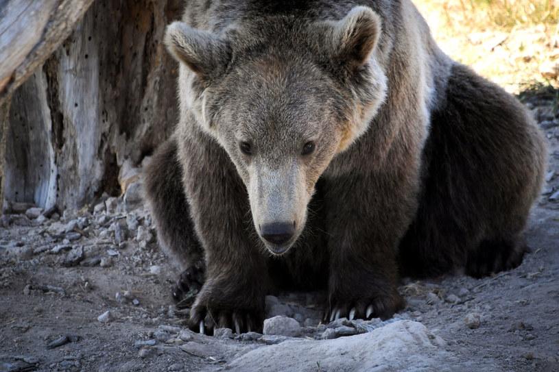 Na zdjęciu: Niedźwiedź brunatny /LOIC VENANCE /AFP