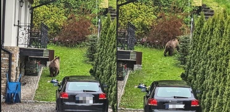 Na zdjęciu niedźwiedź, który odwiedził mieszkańców Zakopanego pod koniec maja /Policja Zakopane /materiał zewnętrzny