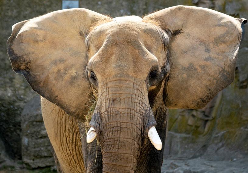 Na zdjęciu: Słoń afrykański /JOE KLAMAR /AFP