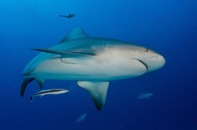 Na zdjęciu: Żarłacz tępogłowy / Luis Javier Sandoval/VWPics/Universal Images Group  /East News