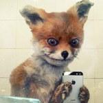 """""""Naćpany lis"""" - najpopularniejszy mem Rosji"""