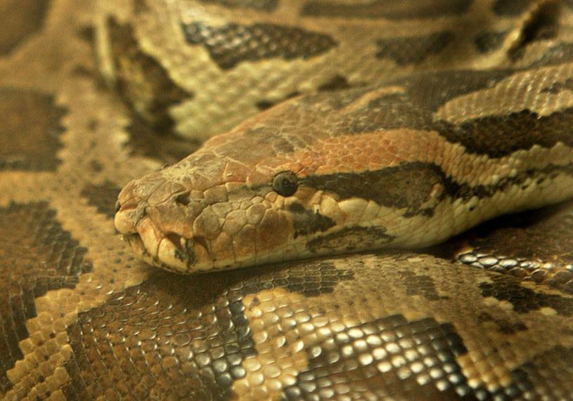 Nad Wisłą przebywa niebezpieczny wąż (zdjęcie ilustracyjne) /MANAN VATSYAYANA /AFP