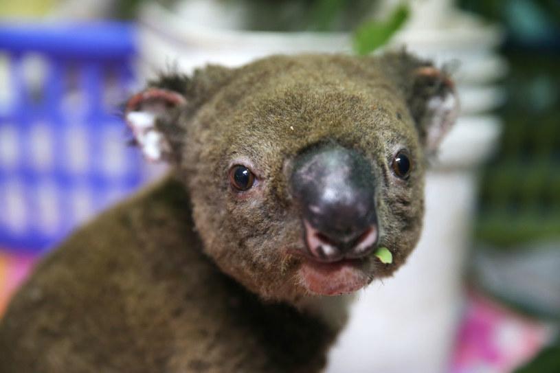 Najbardziej poszkodowane w pożarach są zwierzęta zamieszkujące australijskie lasy /Getty Images