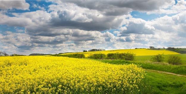 Najbardziej zagrożone suszą są uprawy rzepaku /©123RF/PICSEL
