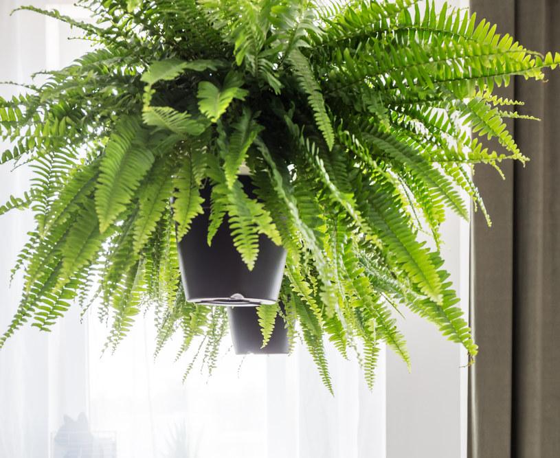Najczęstsze problemy - żółknące liście i ich brązowe końce - powoduje zbyt suche powietrze /123RF/PICSEL