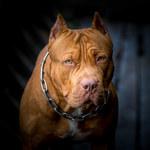 Najgroźniejsze rasy psów