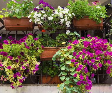 Najlepsze gatunki roślin na balkon