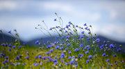 Najlepsze lekarstwa z górskiej łąki