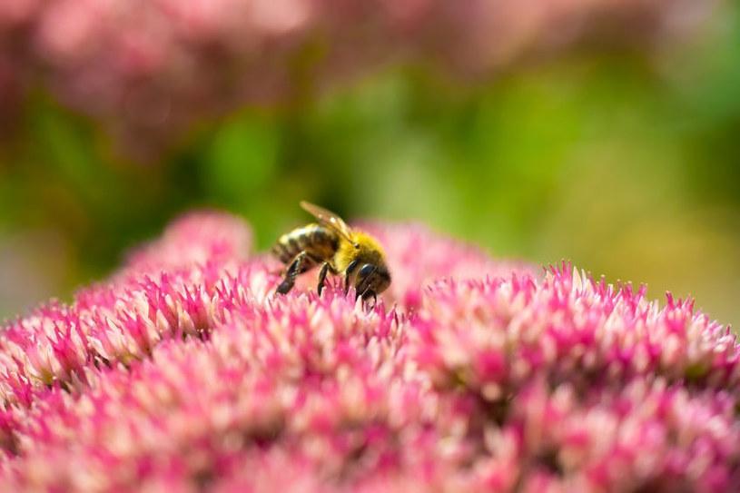 Najlepsze rośliny miododajne /©123RF/PICSEL