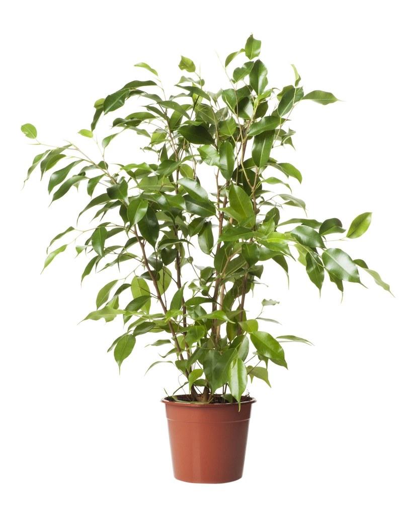 Najmodniejsze rośliny doniczkowe /123/RF PICSEL