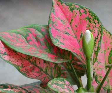 Najmodniejsze różowe rośliny doniczkowe