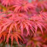 Najpiękniejsze, jesienne krzewy ozdobne