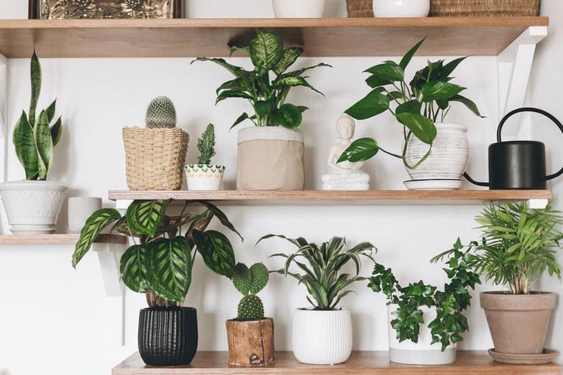 Najpiękniejsze rośliny doniczkowe dla początkujących /©123RF/PICSEL