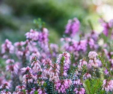 Najpiękniejsze rośliny, które kwitną najdłużej, nawet w zimie