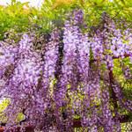 Najpiękniejsze rośliny pnące do ogrodu