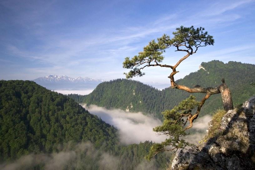 Najsłynniejsze drzewa w Pieniny, Polska /Wiktor Bubniak /123RF/PICSEL