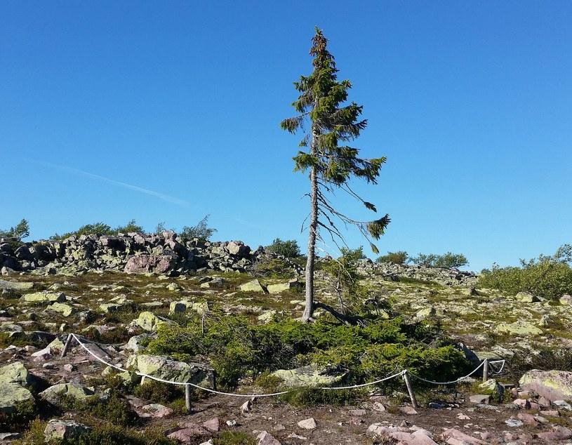 Najstarsze drzewo świata /