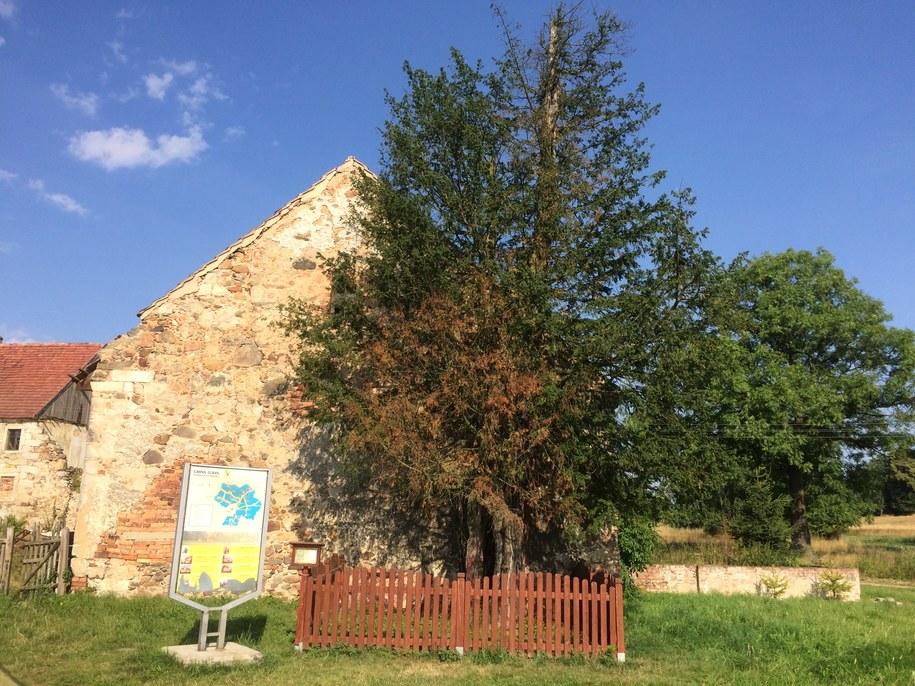 Najstarsze drzewo w Polsce /Bartłomiej Paulus /RMF FM