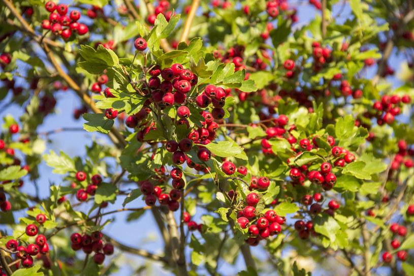 Najwięcej wartościowych składników znajdziemy w owocach i kwiatach głogu /123RF/PICSEL