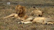 Największe w historii przesiedlenie dzikich zwierząt