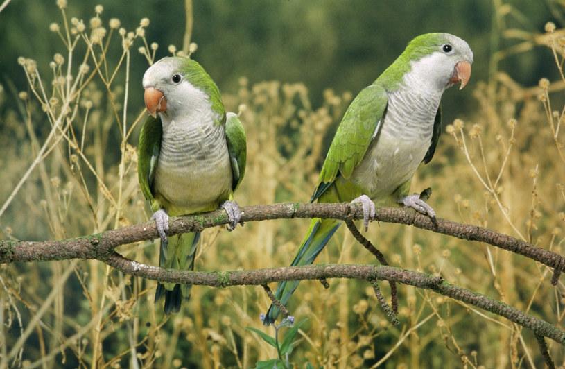 Największy wzrost populacji papug w Madrycie miał miejsce po 2016 r. /Ardea Picture Library /East News