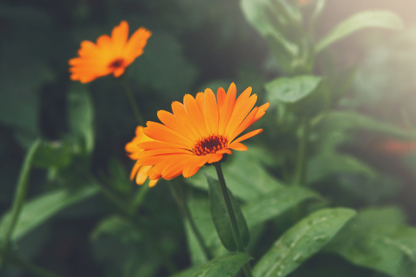 Nalewki z tych kwiatów pomogą na przykre dolegliwości /©123RF/PICSEL