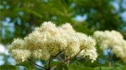 Napar z kwiatu jarzębiny na obrzęki powiek