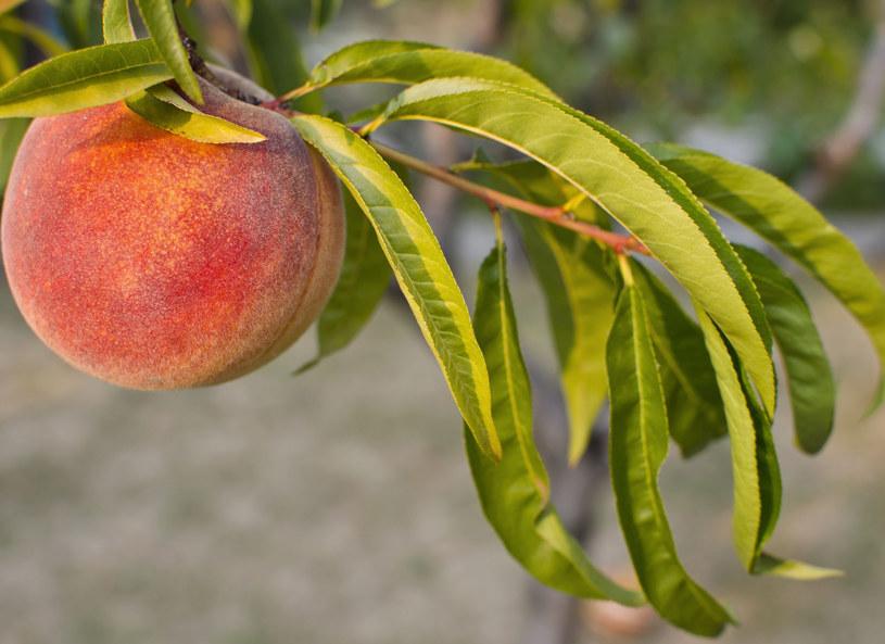 Napój na bazie liści brzoskwini skutecznnie walczy z nieświeżym oddechem /123RF/PICSEL