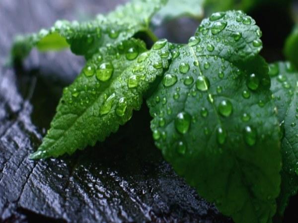 napój z mięty i bazylii /© Photogenica
