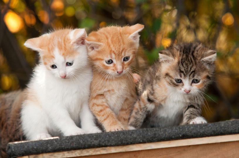 Narcyz, amarylis, czy  gwiazda betlejemska przyniesione okazjonalnie są trujące dla kotów /Picsel /123RF/PICSEL