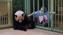 Narodziny pandy! Francja świętuje