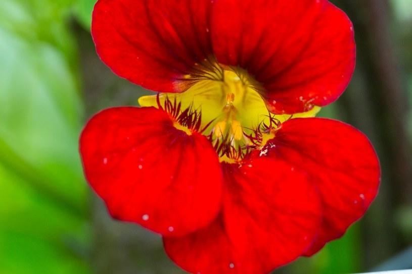 Nasturcja - wabik na mszyce /©123RF/PICSEL
