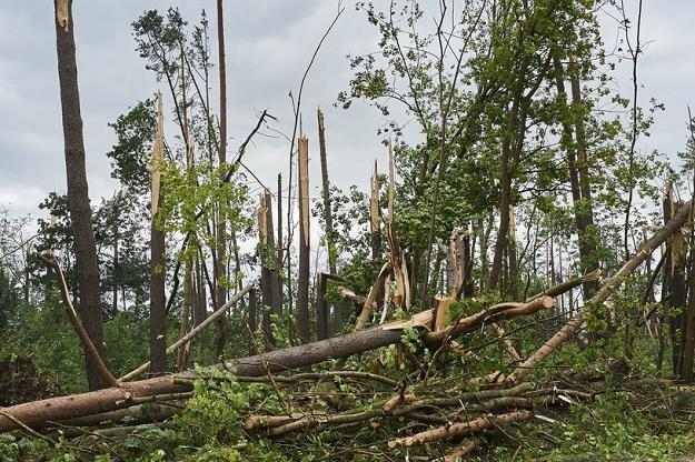 Nasz przemysł kupi drewno z wiatrołomów Fot. Suszek /Dominik Kulaszewicz /PAP /PAP