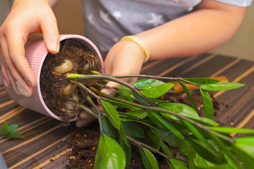 Nasze domowe okazy często wypuszczają nowe sadzonki. A co z nimi zrobić? /123RF/PICSEL