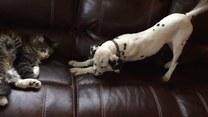 Natrętny dalmatyńczyk nie daje kotu spać