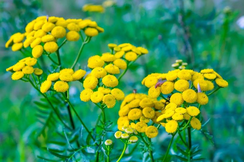 Naturalne środki  ochrony roślin  prawie nic nie  kosztują /123RF/PICSEL