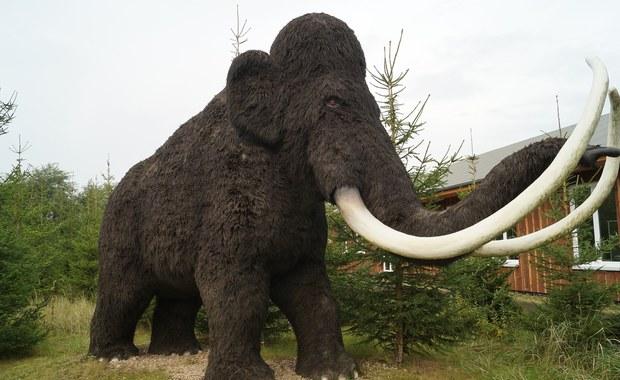 Naukowcy chcą odtworzyć mamuty. To realne?