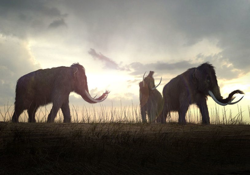 Naukowcy chcą wykorzystać DNA mamutów, by stworzyć nowy gatunek, który przetrwa na Syberii /123RF/PICSEL