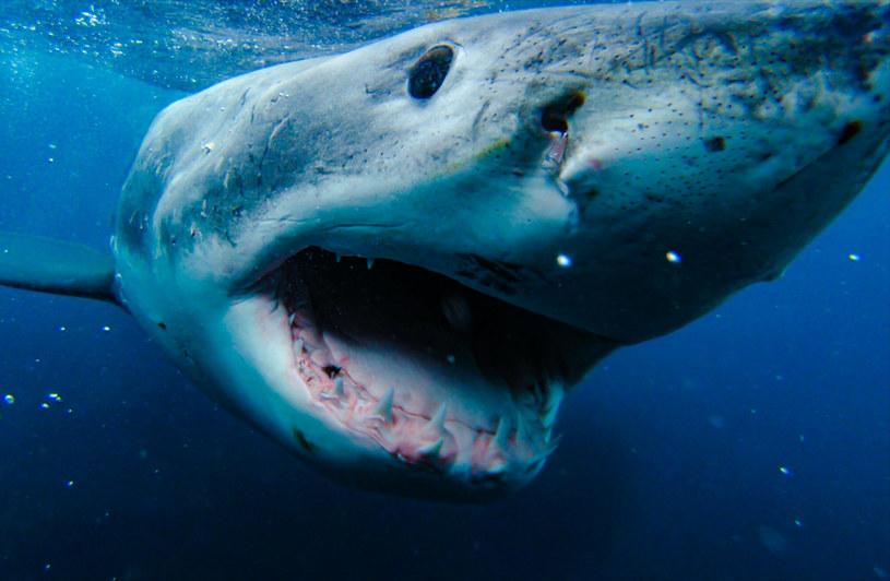Naukowcy dokonali odkrycia dzięki umieszczanym na skórze rekinów czujnikom wykrywającym ruch /mediadrumworld.com/DickieChivell/Media Drum/East News /East News