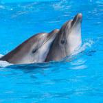 """Naukowcy nagrali """"rozmowę"""" dwóch delfinów"""