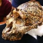 Naukowcy odkryli czaszkę kuzyna człowieka sprzed dwóch mln lat