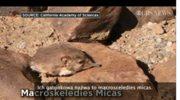 Naukowcy odkryli nowy gatunek ssaka. Jest niewielkie, pokryte futerkiem i żywi się insektami