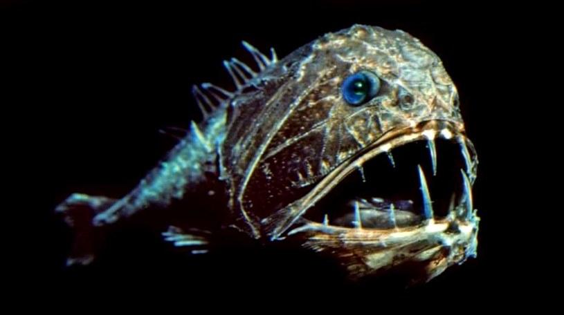 Naukowcy odkryli obecność mikroplastików u zwierząt żyjących w Rowie Mariańskim /materiały prasowe