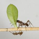 Naukowcy odkryli pancerne mrówki