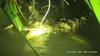 Naukowcy odnaleźli najrzadsze krokodyle świata