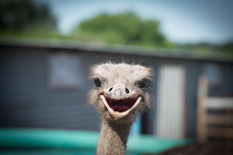 Naukowcy przekonują, że śmiejących się gatunków jest zdecydowanie więcej /123RF/PICSEL
