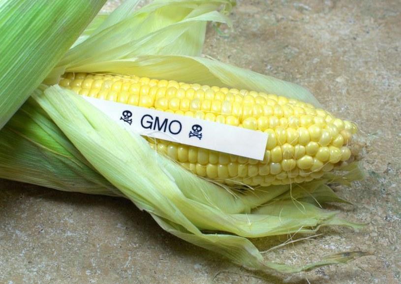 Naukowcy stwierdzili, że rośliny modyfikowane genetycznie nie są szkodliwe dla innych upraw /123RF/PICSEL
