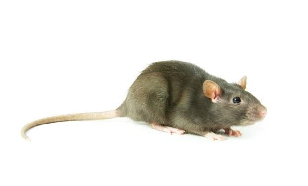 Naukowcy wydrukowali szkielet szczura /123RF/PICSEL