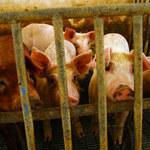 """Naukowcy wyhodowali """"chudsze"""" świnie"""
