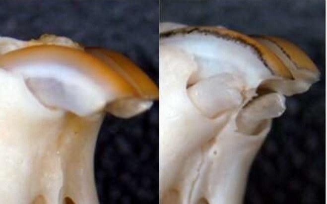 Naukowcy wykorzystali gen USAG-1 do regeneracji zębów u myszy /materiały prasowe